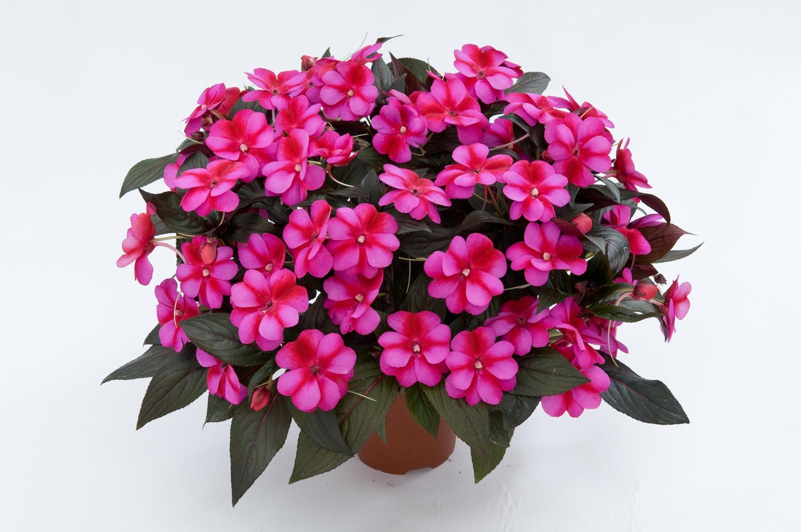 گل پامچال ، رازهای نگهداری از این گیاه گلدار بهشتی!