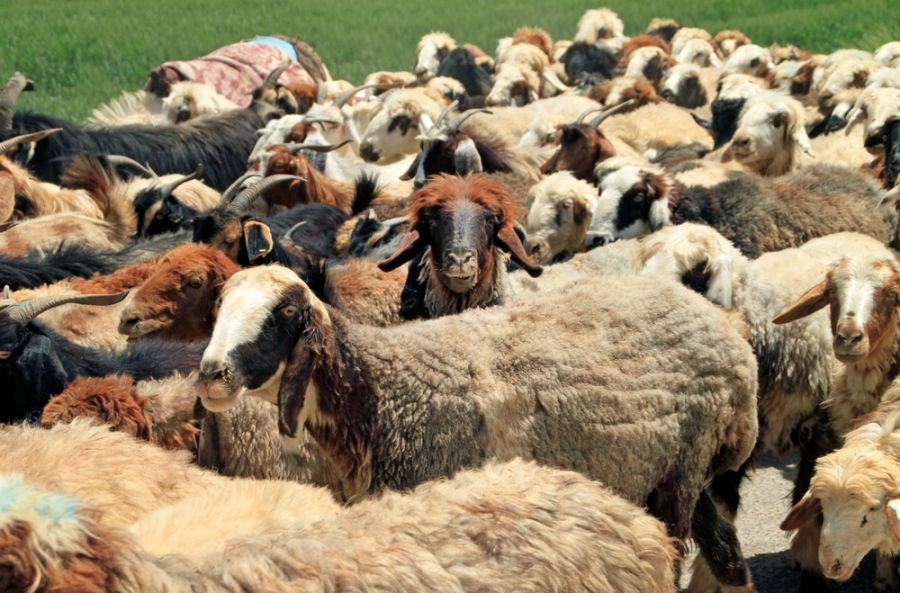 معرفی مجموعه گوسفند زنده