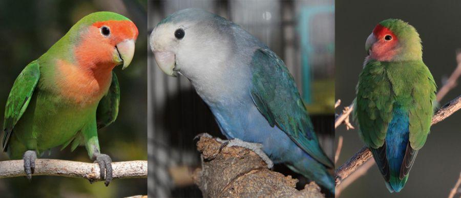 تشخیص جنسیت طوطی برزیلی (Agapornis Lilianae)