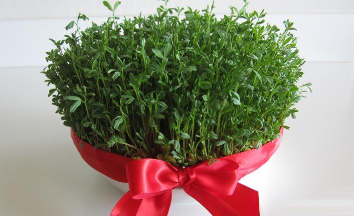 با آموزش کاشت سبزه خاکشیر به استقبال عید نوروز بروید