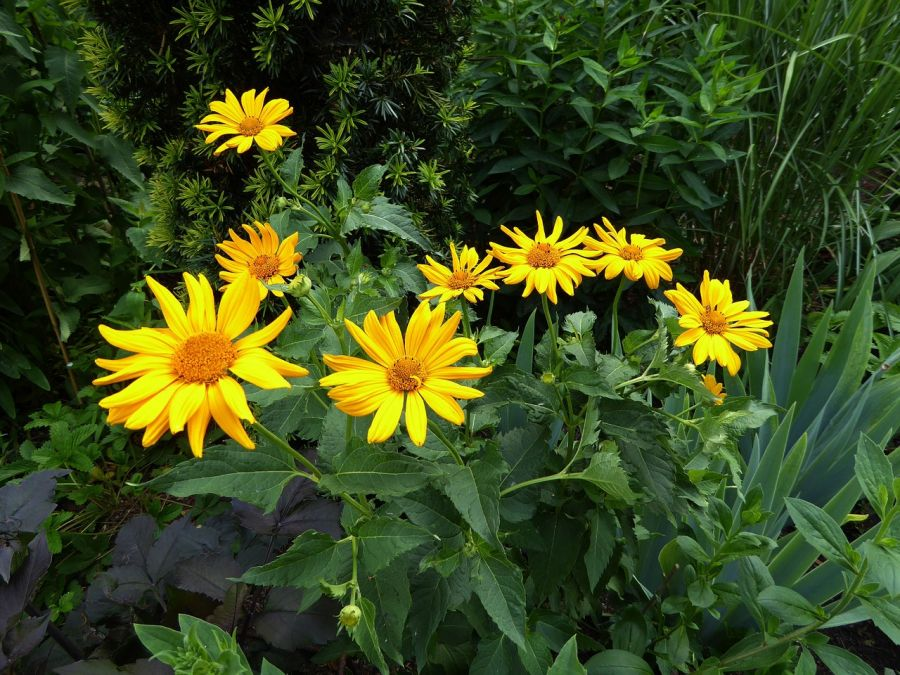 معرفی گیاه آرنیکا و ویژگیهای این گیاه کوهی