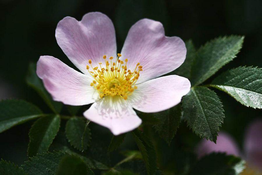 خواص میوه گل نسترن و فواید اعجاب انگیز آن