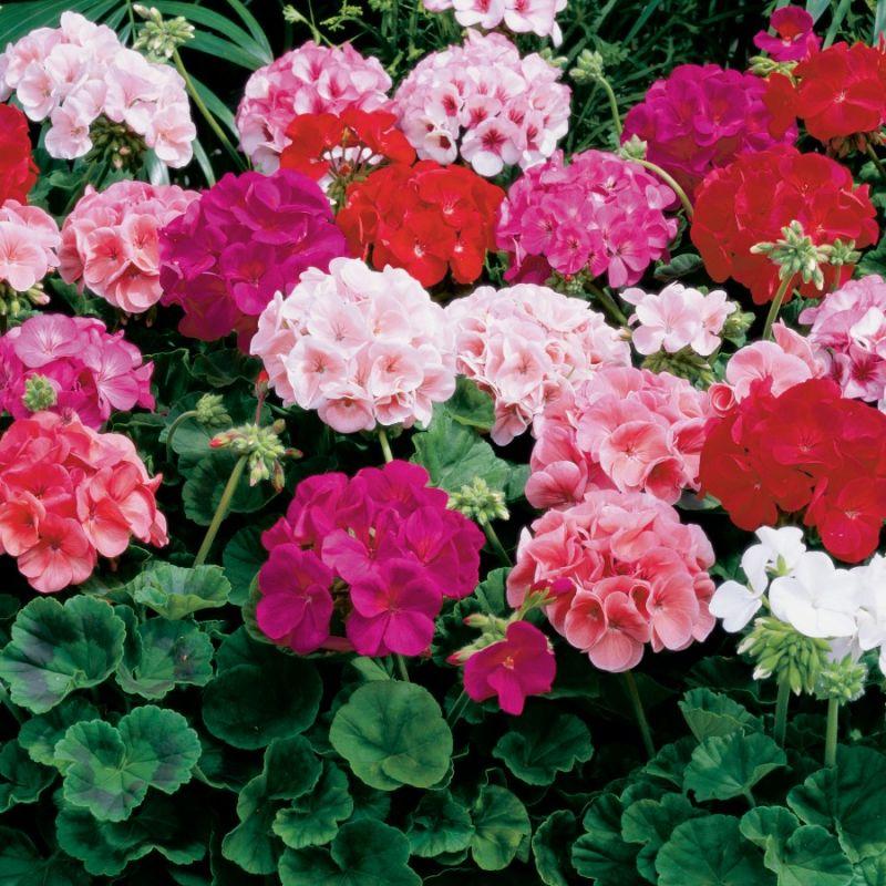 گل شمعدانی : تکثیر،نگهداری و پرورش گل شمعدانی