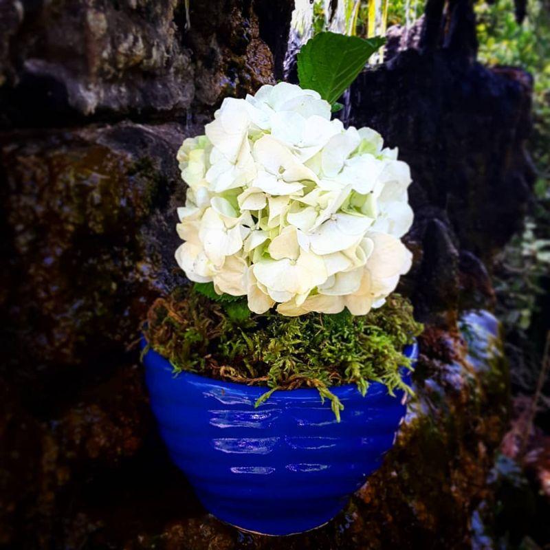 نگهداری و پرورش هورتانسیا یا ادریسی ، تکثیر گل هورتانسیا
