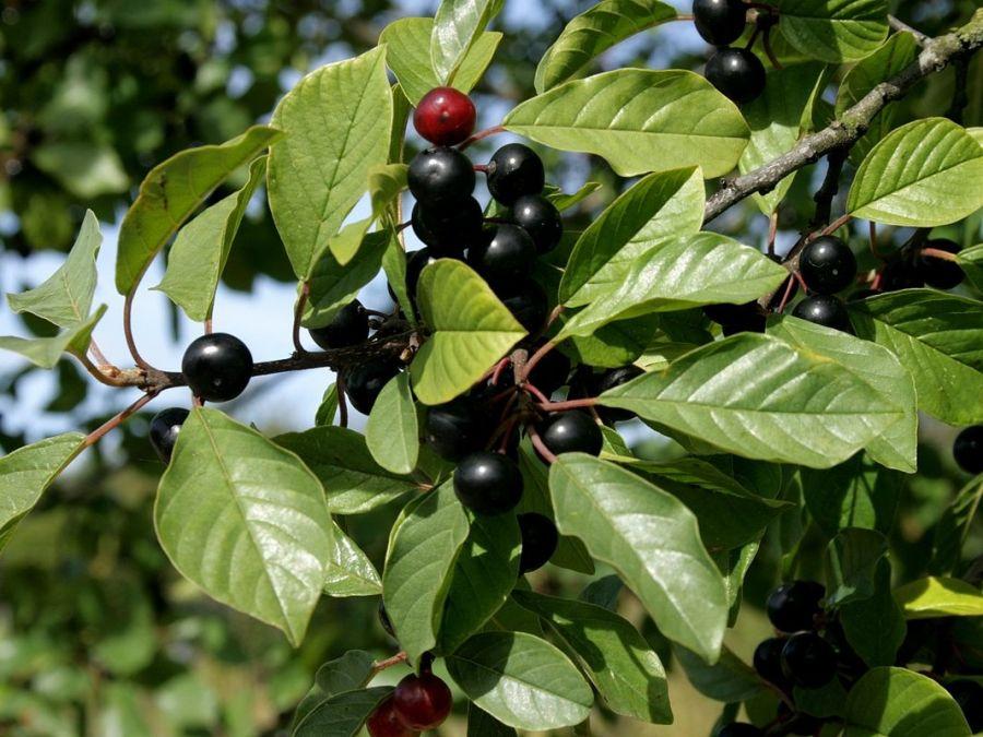 آشنایی با خواص گیاه سیاه توسه در طب سنتی