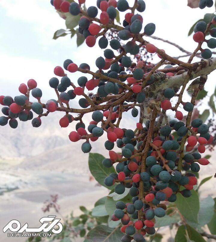 درخت کلخونک یا پسته کوهی