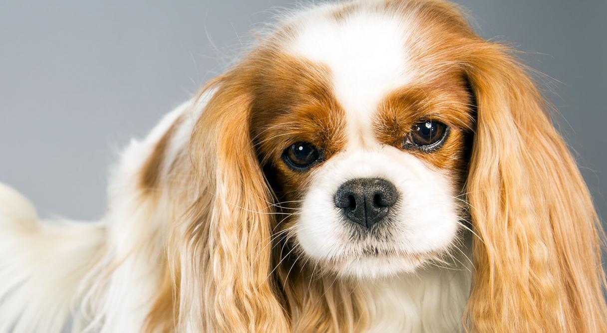 بیماری ویروس پاورا سلامت جانی سگ را به خطر می اندازد