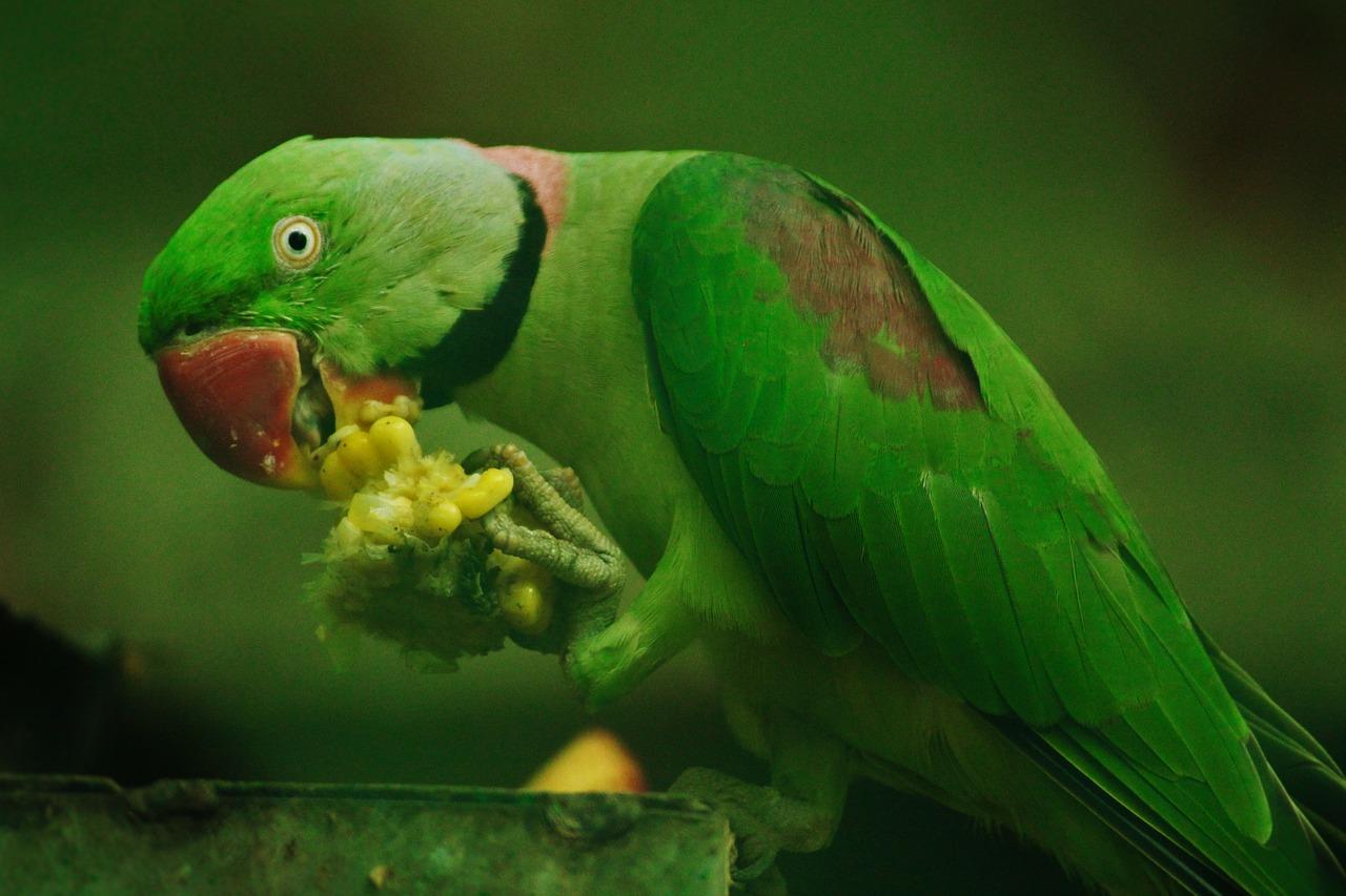 ۹ راه آموزش صحیح برای دستی کردن طوطی( Taming a parrot ) + فیلم