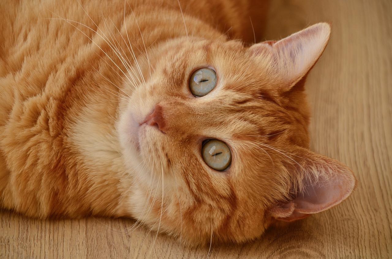 راههای پیشگیری انتقال ویروس ایدز در گربه