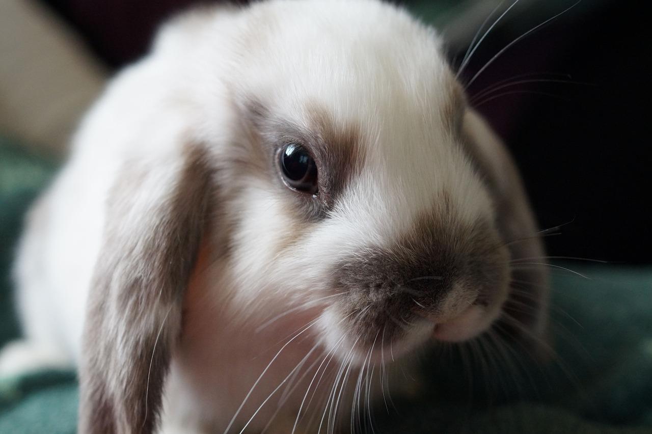 علل و درمان فوری عفونت چشم خرگوش
