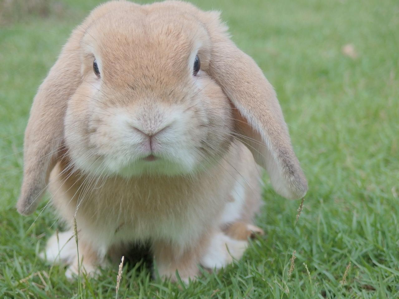 میخچه در کف پای خرگوش خانگی  یکی از رایج ترین بیماری های خرگوش است