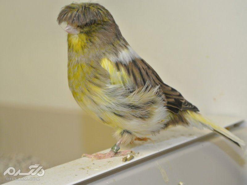 3 - قناری نژاد گلاستر ( canary-gloster )
