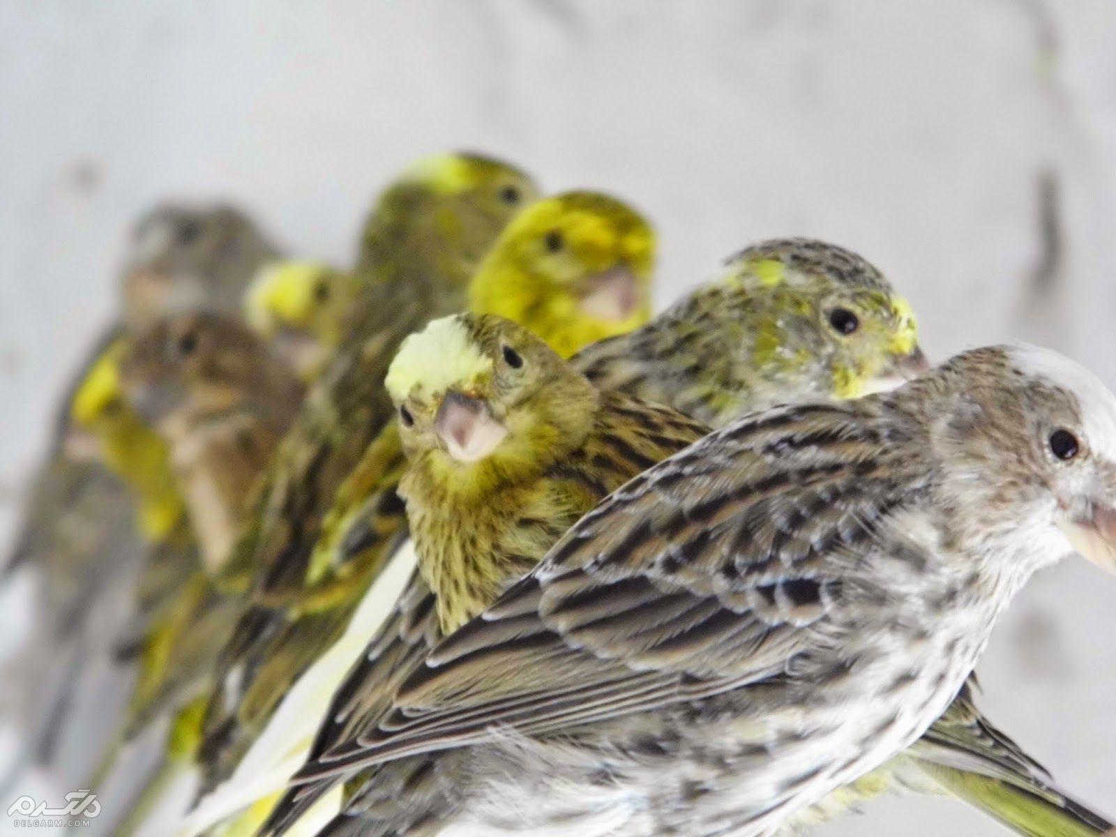 2 - قناری لیزارد ( canary-lizard )
