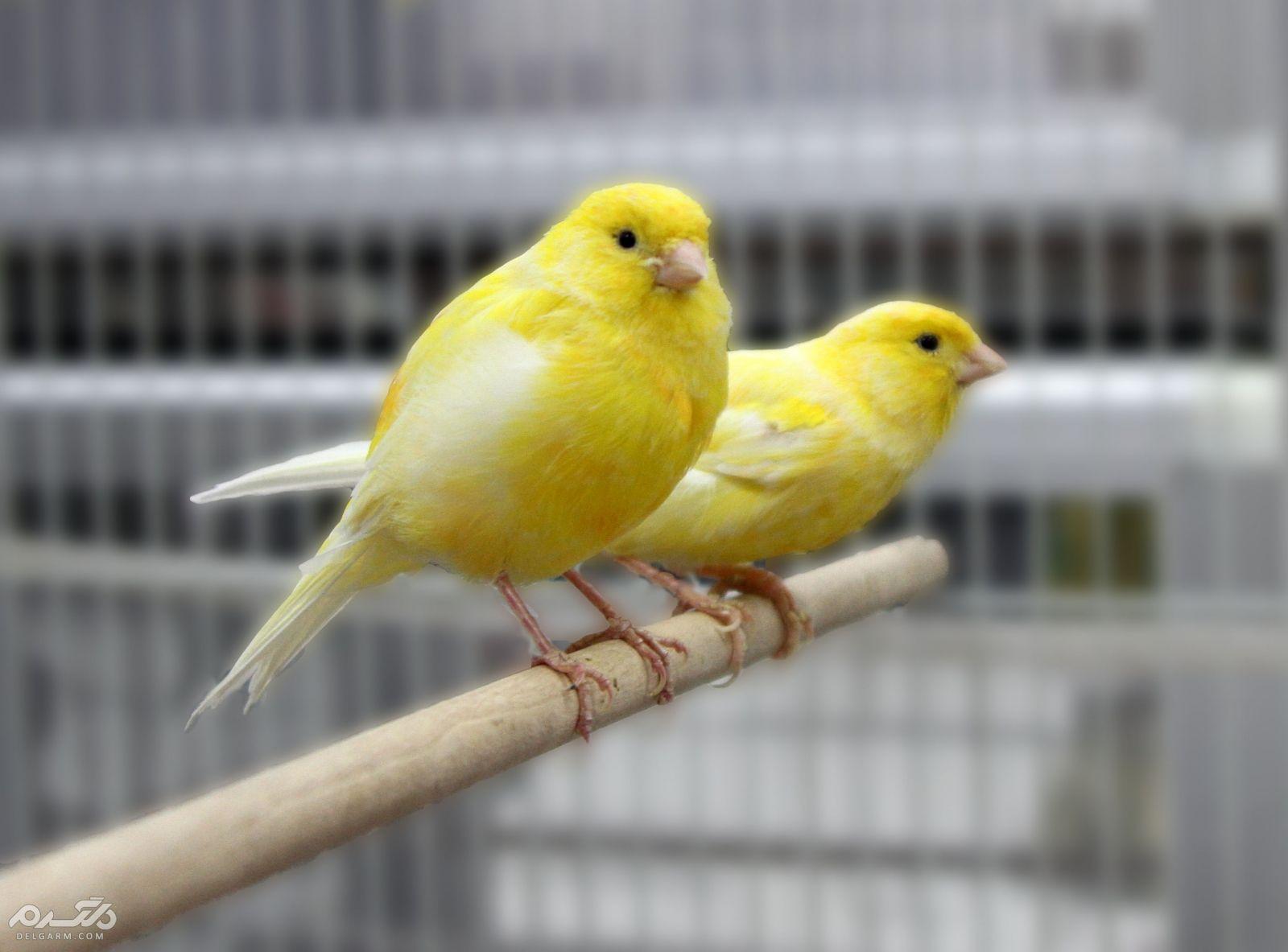 5 - قناری نژاد لانکشایر ( canary-lancashire )
