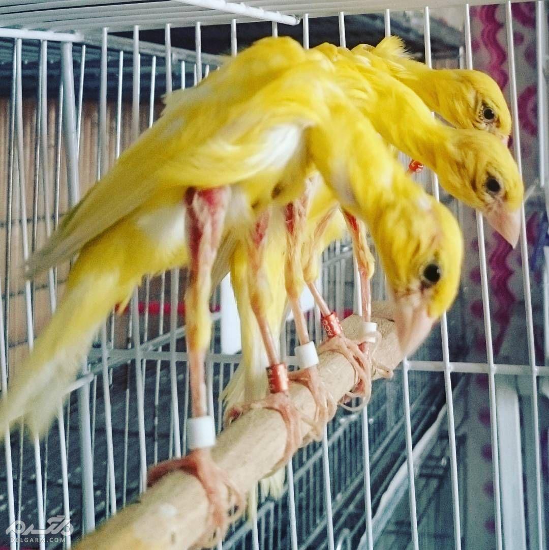 8 - قناری نژاد جیبر ایتالیایی ( canary-jiber-italian )