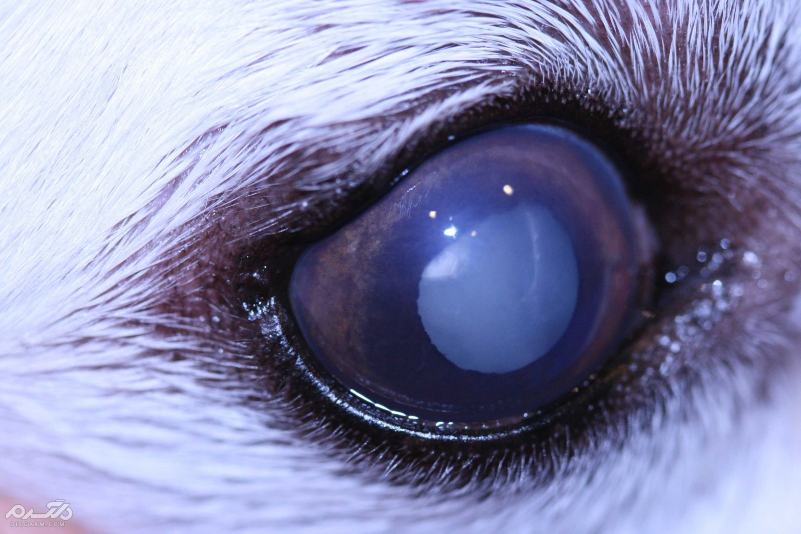 8 - کاتاراکت در سگ (Cataracts)