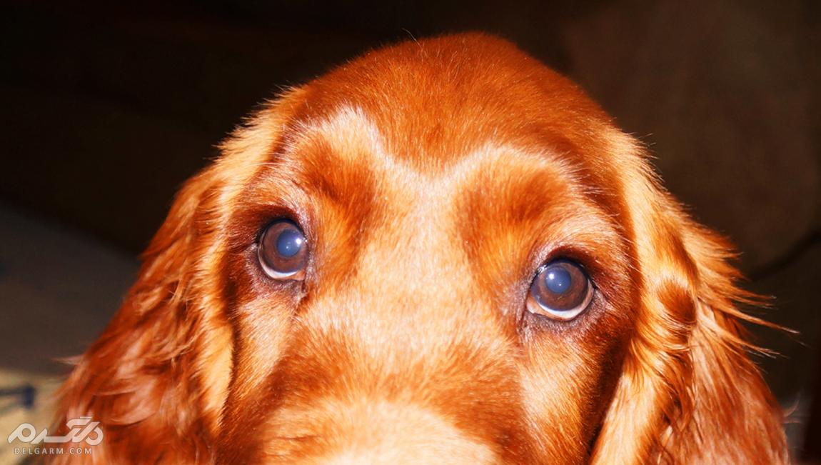 9- آتروفی پیشرونده شبکیه سگ (Progressive Retinal Atrophy)