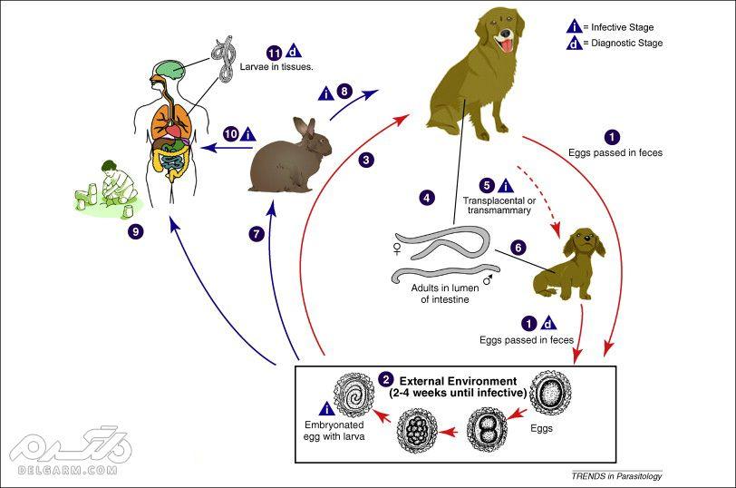 توکسوکاریازیس بیماری مشترک بین حیوان انسان