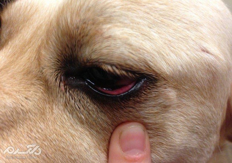 4 - التهاب چشم سگ (Conjunctivitis)