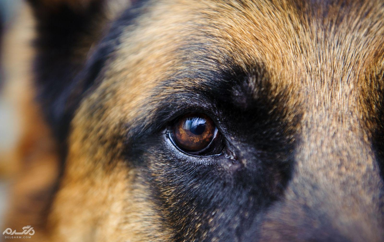1 - آبریزش از چشم سگ (Watery Eyes)