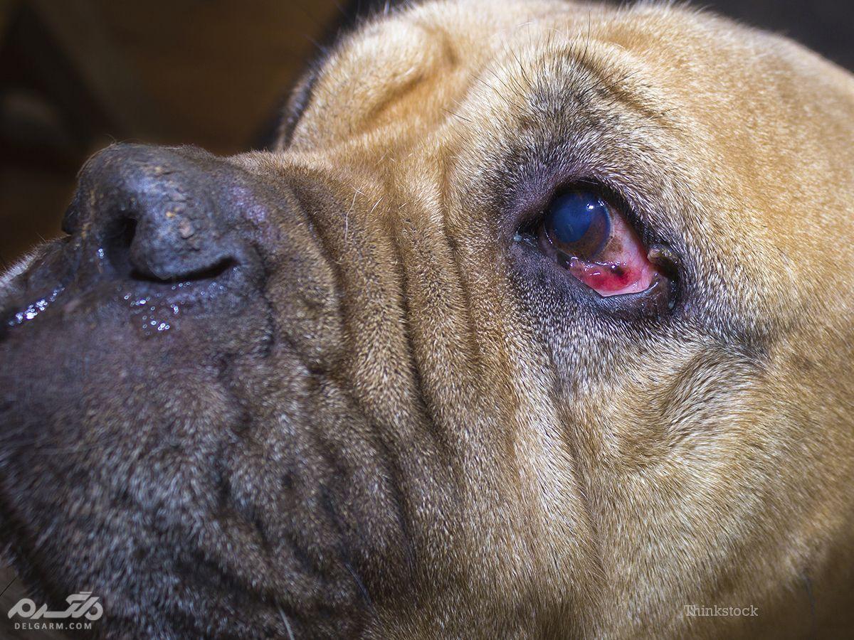 2 - بیماریهای پلک و مژه سگ (Entropion and Ectropion)