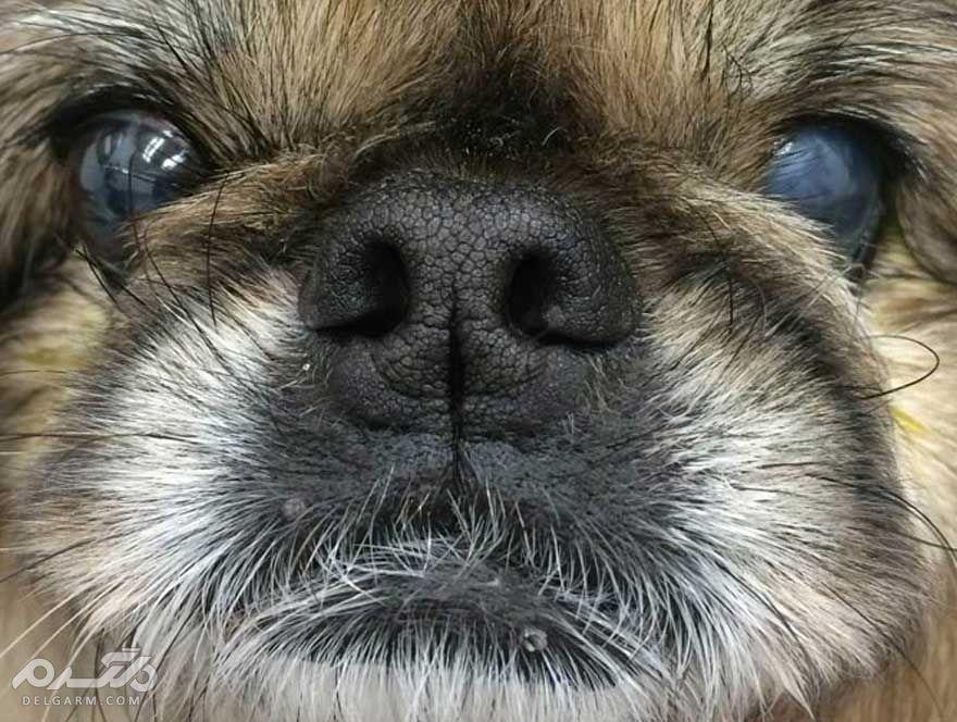 6 - گلوکوم در سگ (Glaucoma)