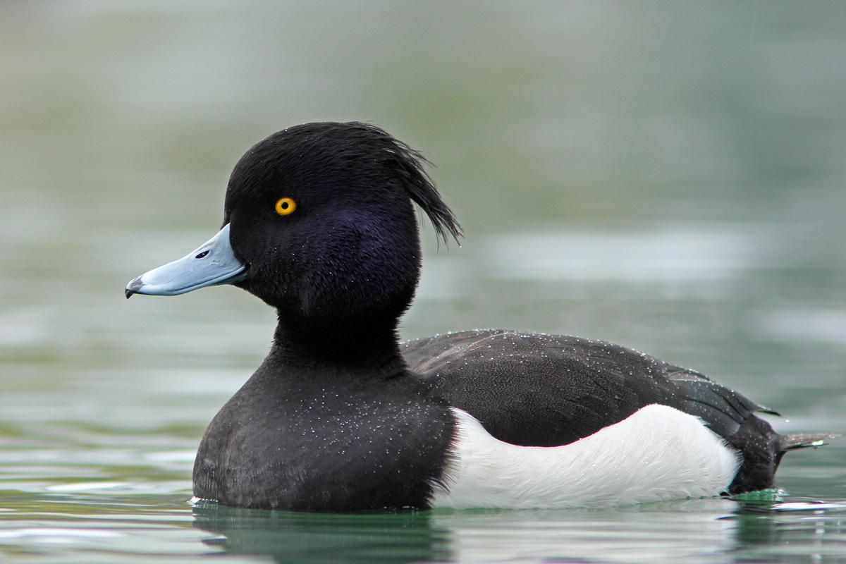 معرفی یکی از گونه های اردک غواص به نام اردک کاکل سیاه