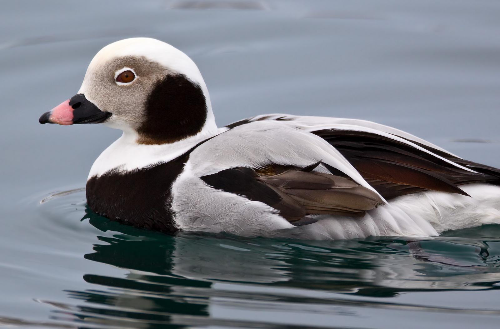 چگونه میتوان اردک دم دراز را تشخیص داد ؟