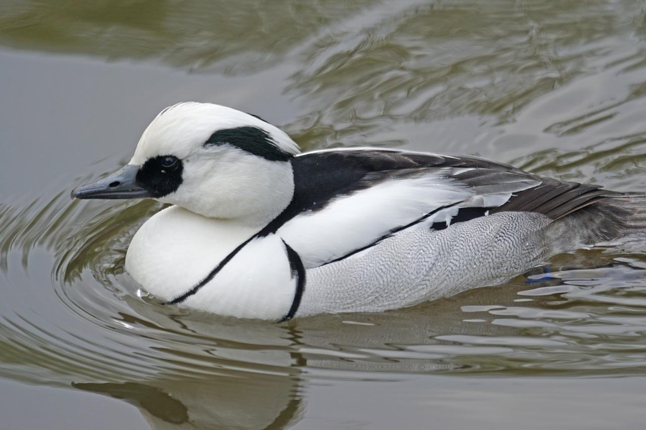 شباهت مرگوس سفید به اردک باعث شد که به نام اردک ماهی خوار معروف شود