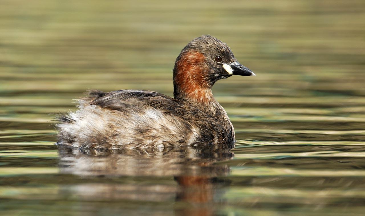 معرفی گونه ای خاص از پرنده یدریایی به نام کشیم کوچک