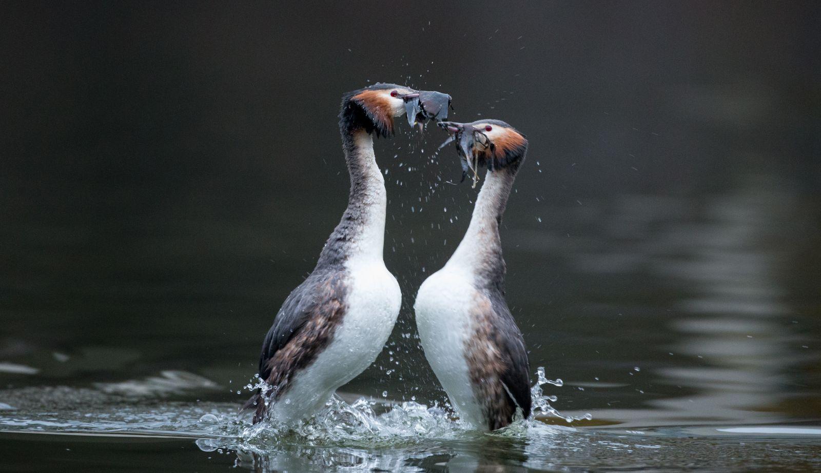 کشیم بزرگ بخاطر کاکل زیبا و رقص زیبای آن روی سطح آب در زمان جفت گیری از گونه های معروف کشیم شناخته شده است