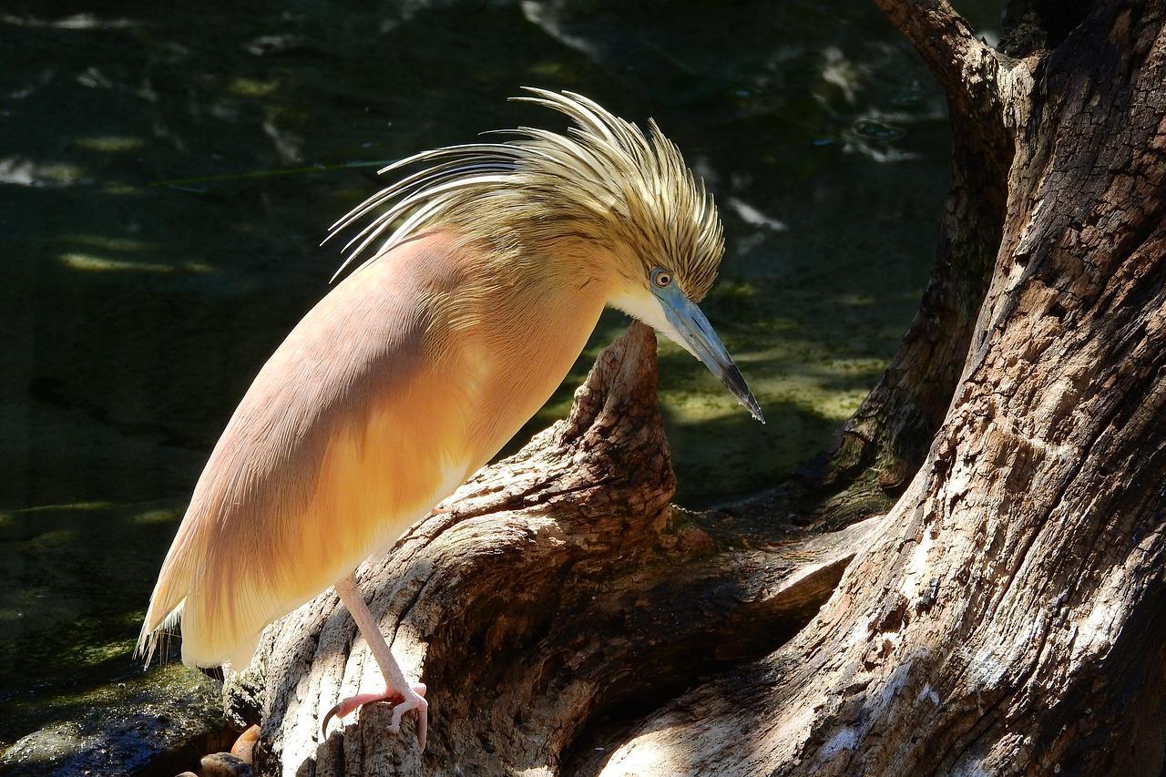 حواصیل زرد شبیه بوتیمار کوچک است که دارای بدنی نخودی رنگ می باشد اما در پرواز بالهایش سفید رنگ دیده می شود.