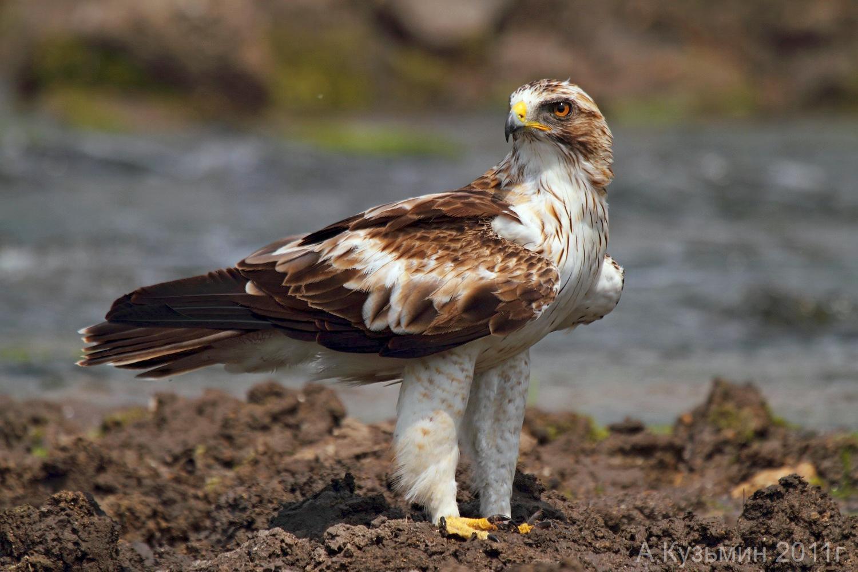 عقاب پرپا از نظر جثه شبيه سارگپه ولي ازلحاظ ظاهري شبيه عقابهاي ديگر است .