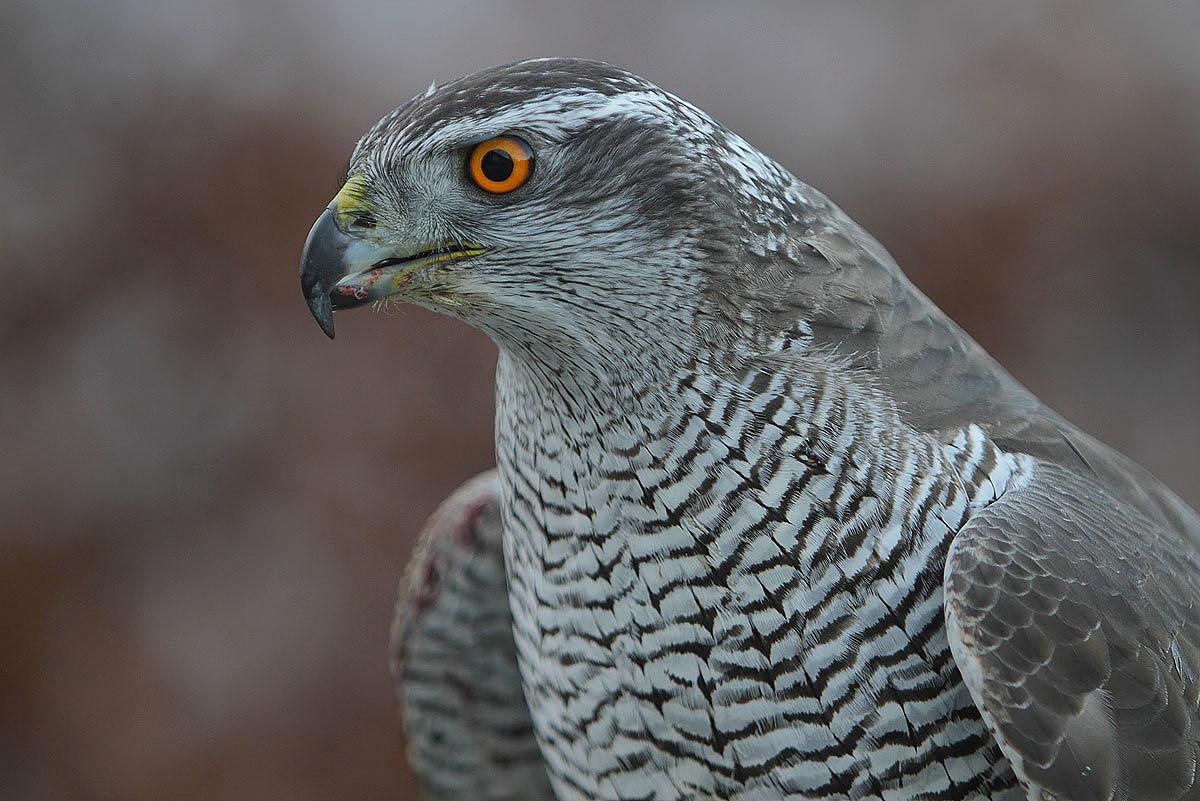 طرلان پرنده ای شکاری سریع و چالاک است