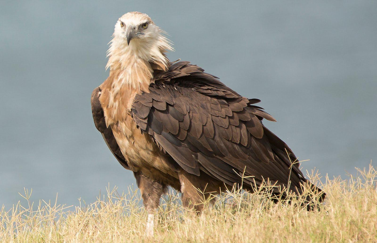 عقاب دریایی پالاس رنگ چشمانش زرد مایل به قهوه ای ، منقارش و پاهایش خاکستری رنگ است.