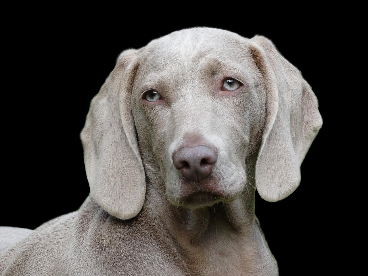 آیا سگها هم سرطان سینه می گیرند ؟