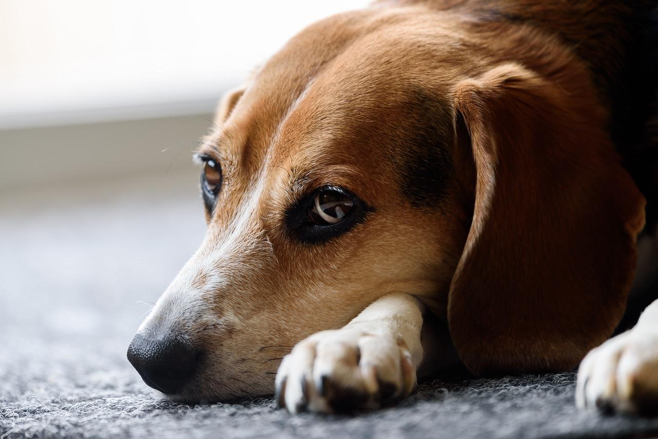 آیا بریدن گوش سگ کار درستی است ؟