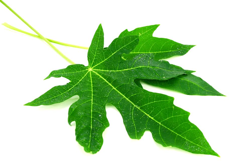 برگ پاپایا : ۱۳ خاصیت شگفت انگیز برگ پاپایا