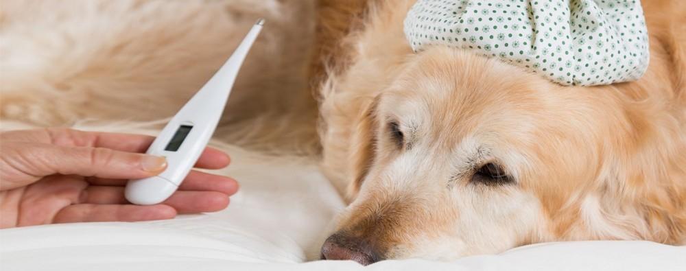 ویروس پارا آنفولانزا یا سرما خوردگی در سگ