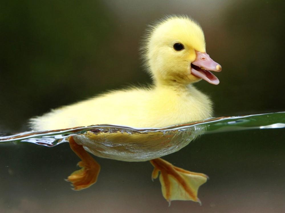 چگونه میتوان تشخیص داد اردک نر یا ماده