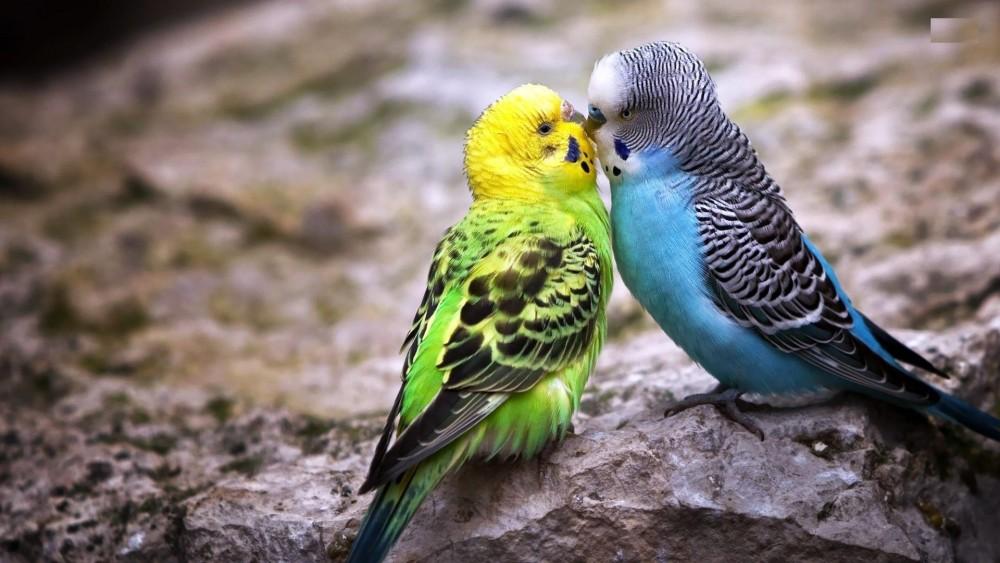 چگونه تشخیص دهیم مرغ عشق نر یا ماده