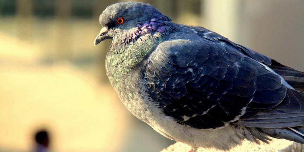 ۵ نشانه بارز کبوترهای پرشی (ساعتی)