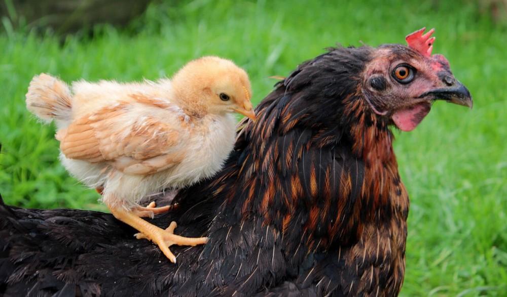 هر آنچه که باید در مورد مرغ کپ(کرچ) و مراقبتهای آن بدانید