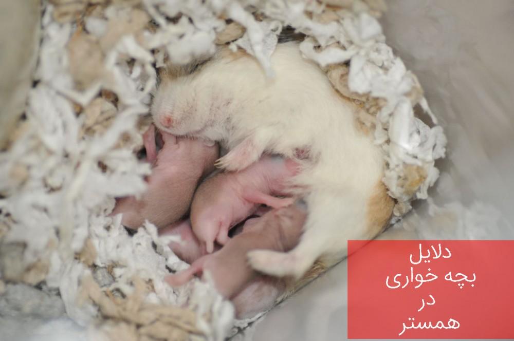 به چه علل همستر مادر اقدام به بچه خواری می کند؟