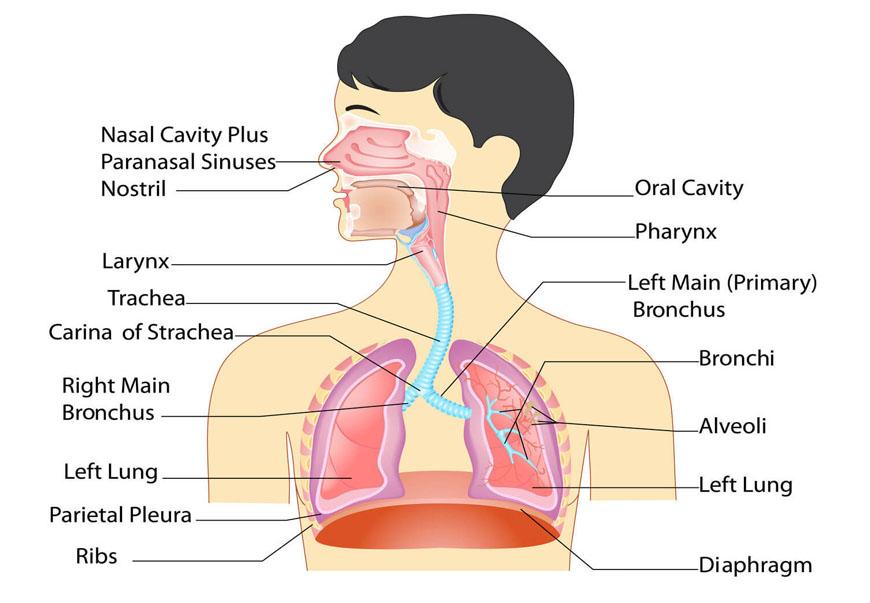 جهاز تنفسی : آشنایی کامل با دستگاه تنفسی