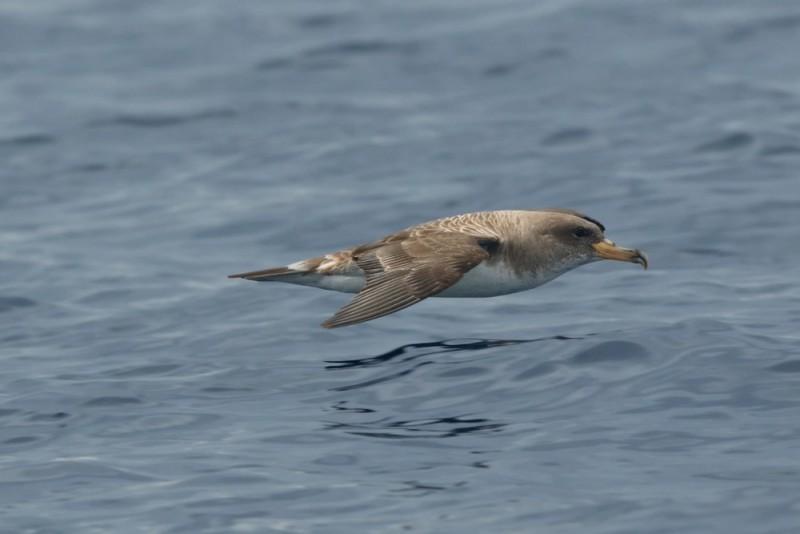 در مورد کبوتران دریایی مدیترانه ای چه میدانید ؟