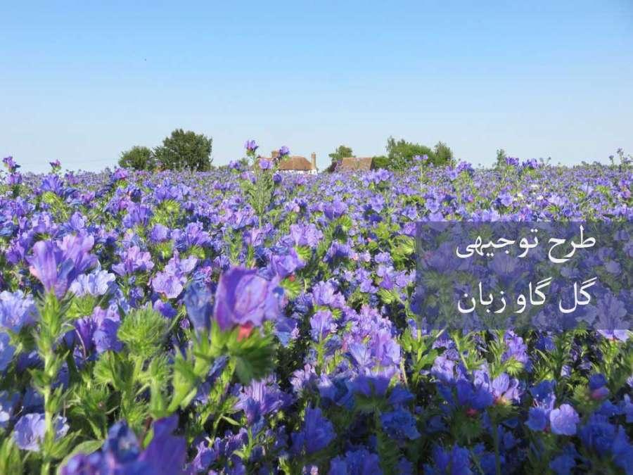 آشنایی با طرح توجیهی گل گاوزبان از کاشت تا برداشت