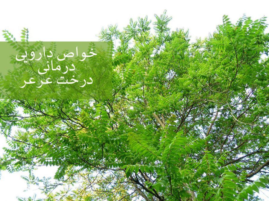 ۱۵ خاصیت دارویی درمانی درخت عَرعَر (آیلان)