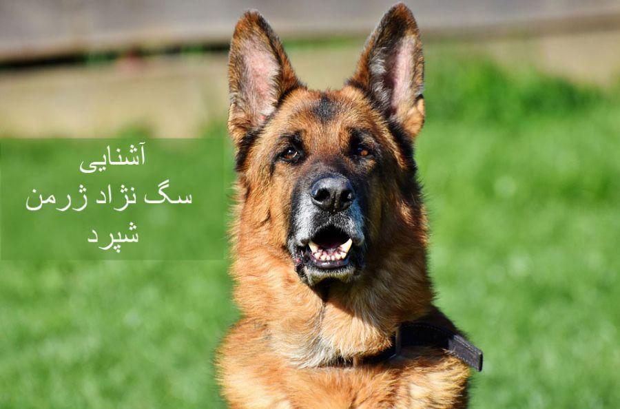 سگ  نژاد ژرمن شپرد (German Shepherd): سگ اصیل آلمانی + گالری