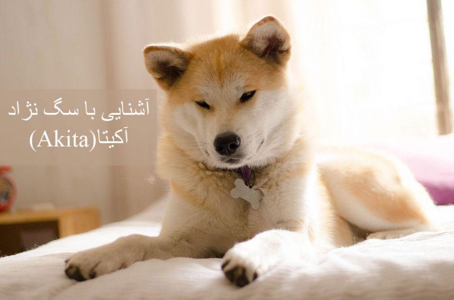معرفی کامل سگ نژاد آکیتا (Akita)